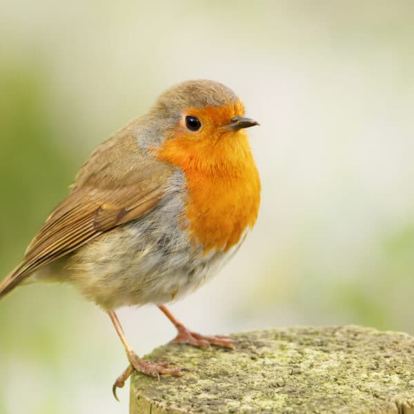 Close up of European Robin (Erithacus rubecula) perched on a wooden post, England.
