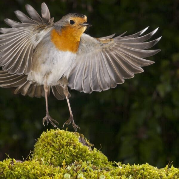 robin (erithacus rubecula), landing, flight